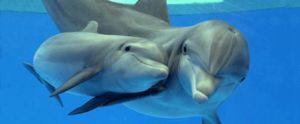 Černohorské delfínové bottlenose charakteristické znaky druhu