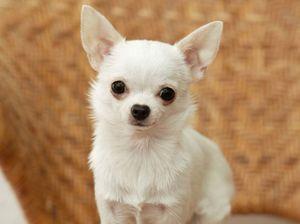 Chihuahua: údržba a péče štěněte