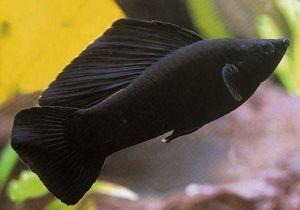 Černá krása - akvarijní ryby molliesia. Chov a péče