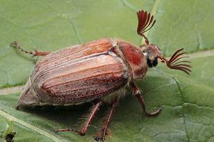Co dělají Mayští chrobáky?