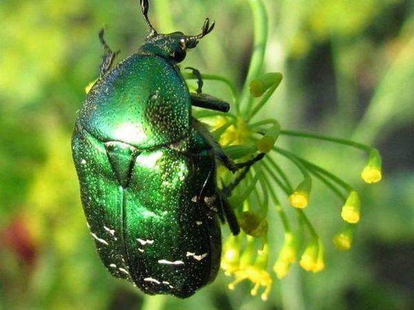 Zelený brouk