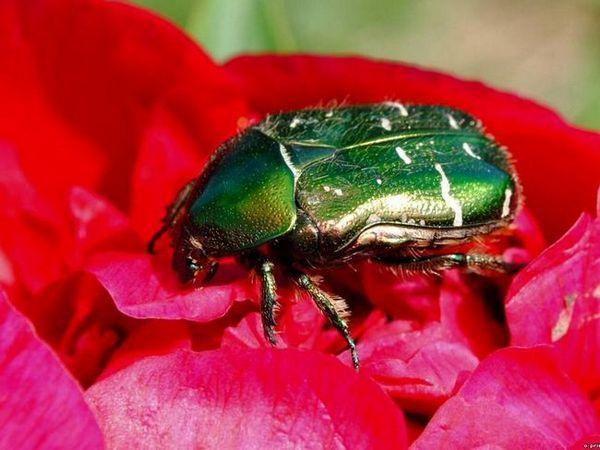 Zelený chrobák na červeném květu