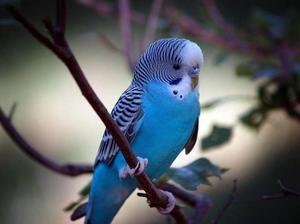 Co je možné podávat vlnitými papoušci