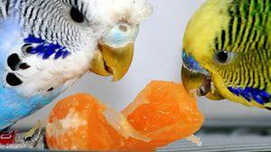 Krmení vlnitého papouška