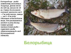 Jak ryby vypadají jako bílé ryby