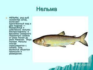 Charakteristika ryby