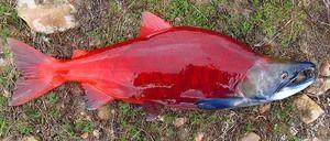 Jaký druh rybího sockeye
