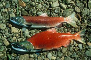 Jak vypadá ryba sockeye?