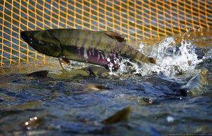 Dalekohlavský losos: druhy, rybí biotopy v Rusku