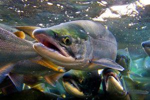 Vnější znaky společného druhu lososa