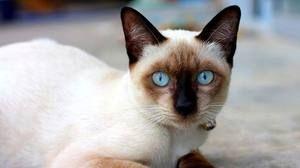 Mladá siamská kočka