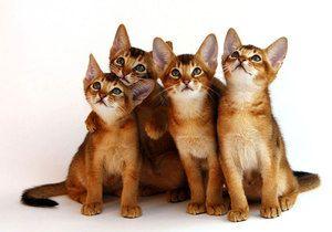 Koťata habešského plemene