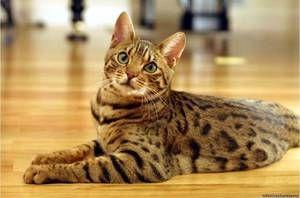 domácí milující bengálská kočka