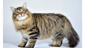 Fluffy sibiřská kočka