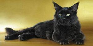 Černá kočka Maine Coon je malý panter