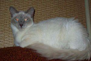 Orientální kočky s dlouhými vlasy: popis plemene