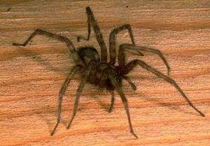 Domácí pavouci: hlavní typy domácích pavouků