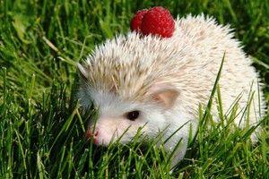 Domovský africký trpaslík hedgehog