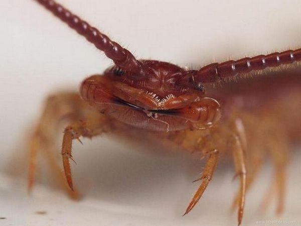 Scalapendria: fotografie hmyzu je nebezpečnější