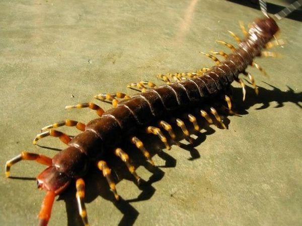 Scalapendria: fotografie hmyzu je nebezpečnější a jak