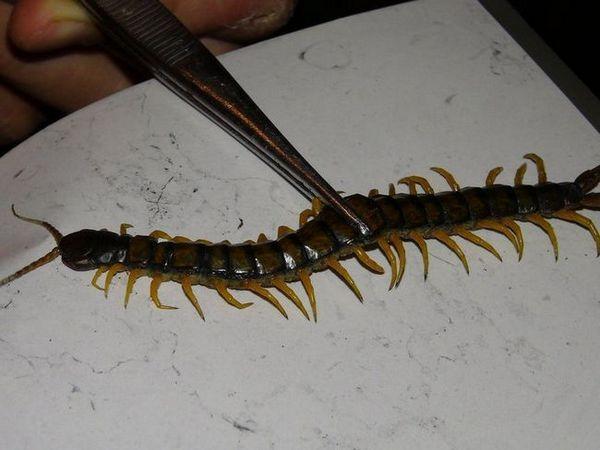 Scolopendra domácí-hmyz