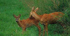 Evropský srnčí jelen. Popis zvířete