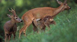 Jak se srnčí jelen rozmnožuje a usadí