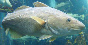 Krmení tresky obecné - masožravé ryby