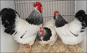 Charakteristika plemene kuřat Sussex