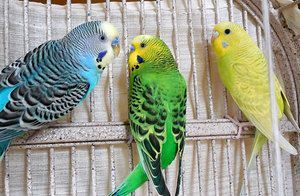 Vlnité papoušky