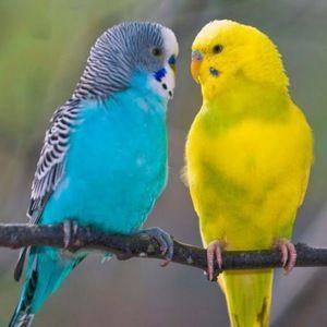 Pár papoušků