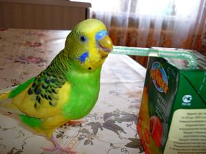 Vlnitý papoušek