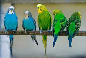 Skupina zvlněných papoušek