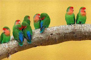 Nerazluchniki - druh papoušků