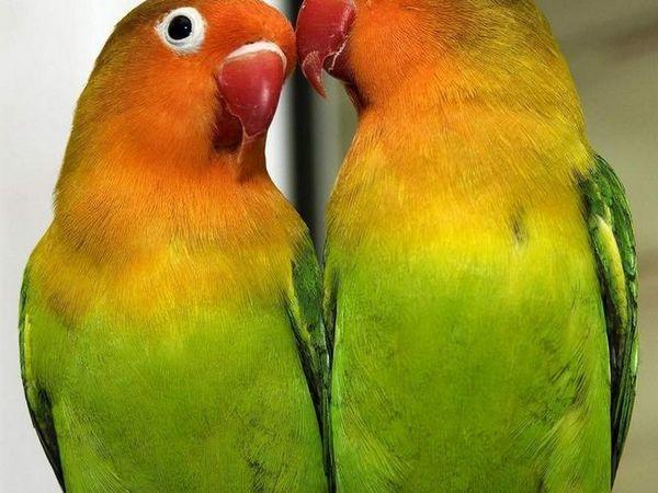 Pár papoušků parazitů