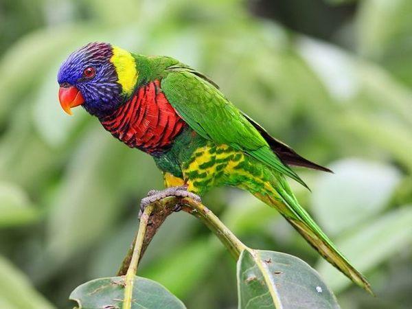 Parrot Laurie - duha papoušek