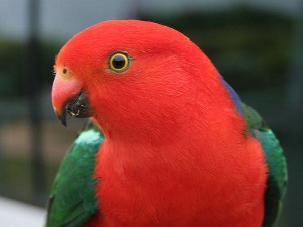 Královští papoušci