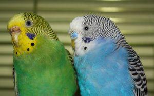 Hračky pro zvlněné papoušky