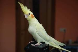 Péče o papouška papouška