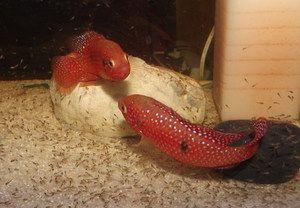 Akvarijní rybí chróm pohledný