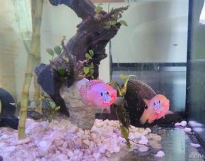 Akvarijní ryby neon chromy