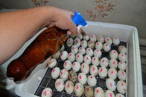 Pravidla pro kladení vajec v inkubátoru