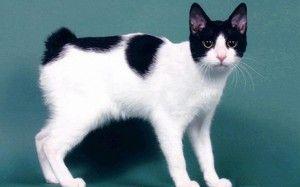 Japonský Bobtail: charakteristika plemene koček, péče, ceny