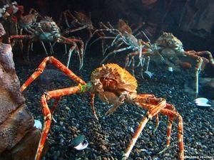 Japonský pavoukovec nebo obří krab