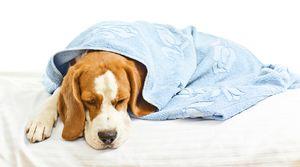 Enteritida u psů: příznaky a léčba