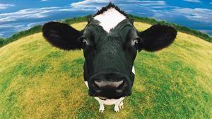 Spánek o krávě