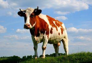 Vysvětlení snu o kravě