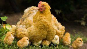 Sníst kuře