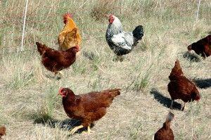 Jak vysvětlit sen o kuře