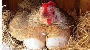 Vidět žádné kuře s vejci